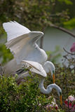 Breeding Great Egrets Royalty Free Stock Photo