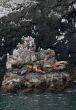 Breeding-ground of sea lions Stock Image