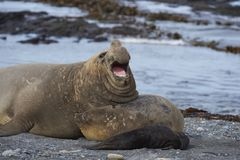 Breeding group of Southern Elephant Seal Royalty Free Stock Images