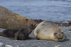 Breeding group of Southern Elephant Seal. Mirounga leonina on Sea Lion Island in the Falkland Islands Stock Images