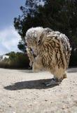 Breeding hawk Stock Image