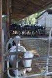 Breeding herd Stock Photo