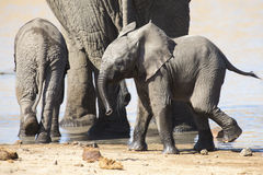 Breeding herd of elephant drinking water at small pond Royalty Free Stock Images
