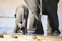 Breeding herd of elephant drinking water at small pond Stock Photography