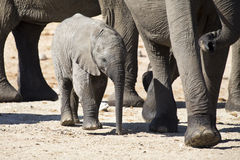 Breeding herd of elephant drinking water at small pond Stock Images