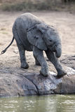 Breeding herd of elephant drinking water at a small pond Stock Photos