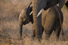 Breeding herd of elephant walking eating in long brown grass Royalty Free Stock Photo