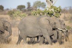 Breeding herd of elephant walking eating in long brown grass Royalty Free Stock Photo