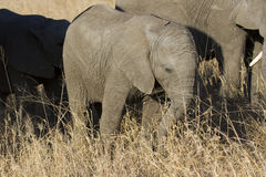 Breeding herd of elephant walking eating in long brown grass Stock Images