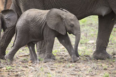 Breeding herd of elephant walking and eating on short grass Royalty Free Stock Photo