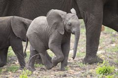 Breeding herd of elephant walking and eating on short grass Royalty Free Stock Photography