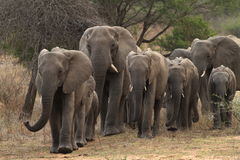 Breeding herd of elephants approaching in Kruger Park Royalty Free Stock Photography