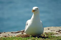 Herring gull on Ile aux Moines in Brittany. Breeding herring gull Larus argentatus on one of the sept-iles. France's oldest and largest bird sanctuary royalty free stock photo
