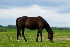 Breeding horse in the pasture. On a summer day Stock Image