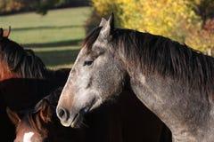 Breeding horses in Allier, France Stock Photo