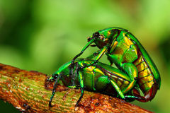 Breeding insect Stock Photography