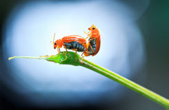 The breeding of lady bugs Royalty Free Stock Photos