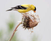 Breeding Male American Goldfinch Royalty Free Stock Photography