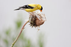 Breeding Male American Goldfinch Royalty Free Stock Images