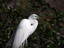 Breeding Male Great Egret Stock Images