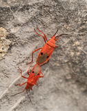 Breeding or mating of Red Kapok Bugs (Probergrothius nigricornis Stock Image