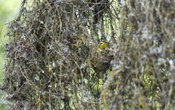 Breeding Montane white-eye bird Royalty Free Stock Images