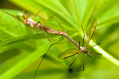Breeding of mosquitoes. Insects of the family of mosquitoes long legs Tipuludae,order Diptera royalty free stock photos