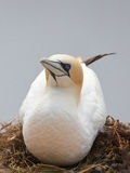 Breeding Northern Gannet Stock Photography