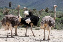 Breeding Ostriches Royalty Free Stock Photos