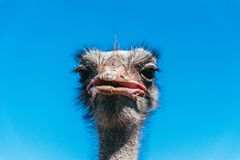 Funny African ostrich. Portrait of an animal Royalty Free Stock Photos