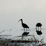 Breeding Pair of Glossy Ibis Royalty Free Stock Photography
