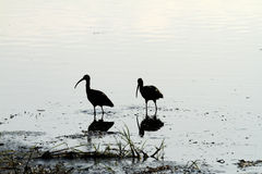 Breeding Pair of Glossy Ibis. Glossy Ibis feeding in mirrored shallow water Stock Image