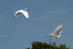 A breeding pair of great egrets take flight Stock Photography