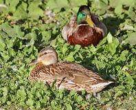 Breeding pair of Mallard ducks resting on grass.    Female in foreground Royalty Free Stock Photography