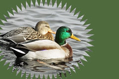 Breeding Pair of Mallard Ducks swimming on calm waters Stock Images