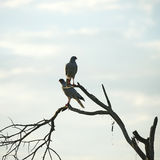 Breeding Pair of Pale Chanting Goshawk Stock Images