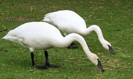 Breeding pair of wild Trumpeter Swans feeding on land Royalty Free Stock Photography