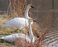 Breeding pair of wild Trumpeter Swans resting on shore along Marsh stock images