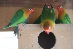 Breeding Pairs Lovebirds Parrots In Aviary stock images