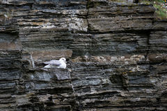 A breeding petrel on the rocks of Scotland. A petrel breeding on its nest Stock Images