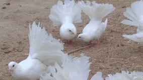 Breeding pigeons on the farm stock video footage