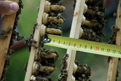 Breeding queen bees. Length measurement royalty free stock photos