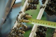 Breeding queen bees Stock Photos