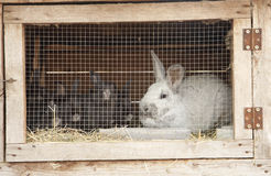 Breeding rabbits Royalty Free Stock Photography