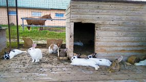 Breeding rabbits. Breeding rabbits of different breeds, size and color.Albinos Royalty Free Stock Image