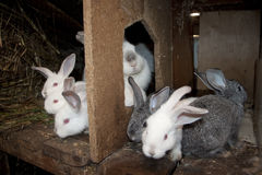 Breeding rabbits. Rabbits on a farm sit in a house for rabbits and rejoice Stock Images