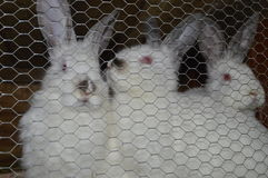 Breeding rabbits, rabbits in cage. Three white rabbits with black nose Stock Images