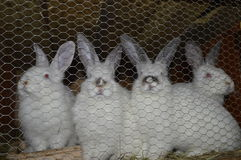 Breeding rabbits, rabbits in cage. Breeding white rabbits, four rabbits Royalty Free Stock Images