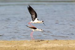 A breeding ritual of a black winged stilts Royalty Free Stock Photography
