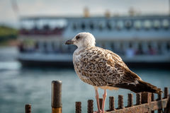 Breeding seagull in the port Stock Photo